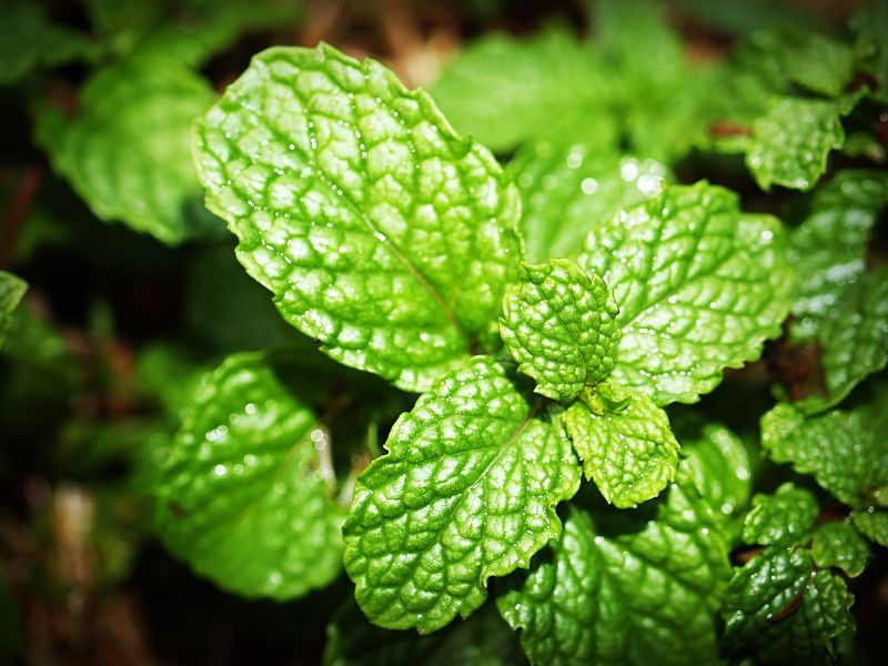 Lovely fresh mint is very aromatic.