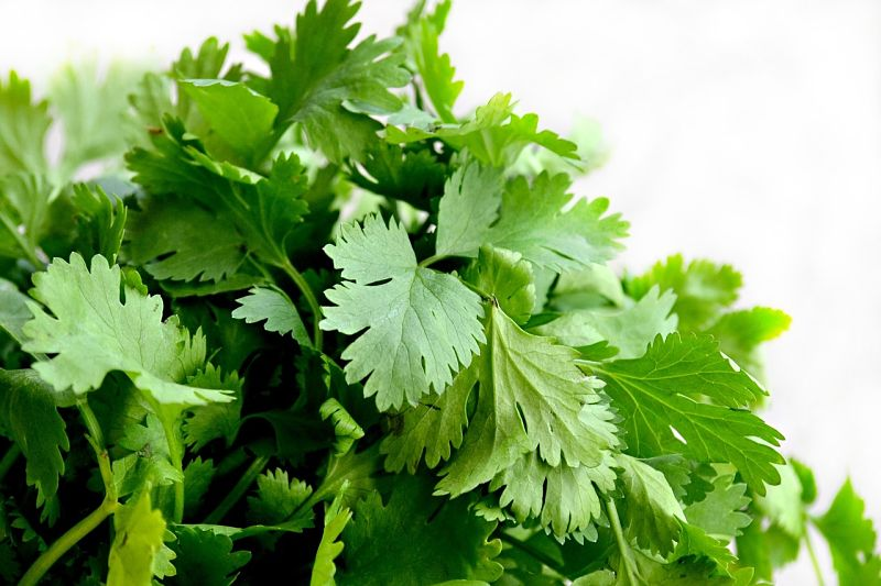 Lovely cilantro or coriander has a delightful taste and aroma.