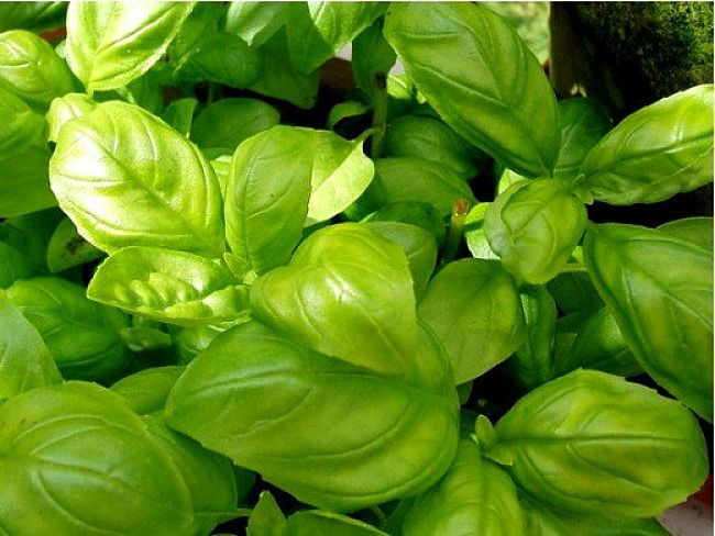 Basil or coriander is the heart and soul of a good homemade pesto