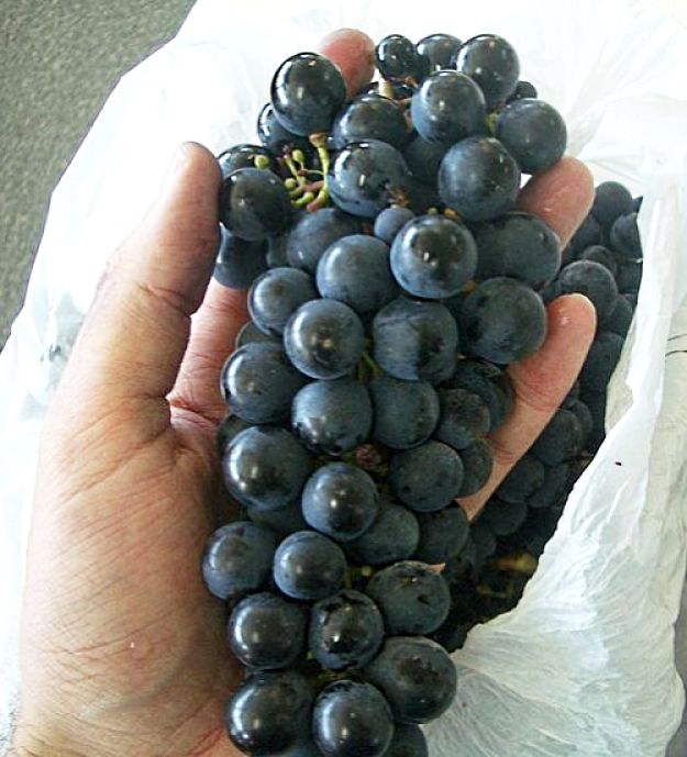 Malbec Grapes are a hybrid from Montpellier and Gaillac grape varieties